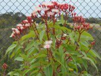 Corymbia ficifolia 'Summer Beauty'
