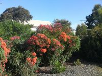 Corymbia ficifolia flowering-gum 'Baby Orange'