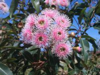 corymbia-ficifolia_flowering-gum_fairy-floss