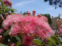 Corymbia ficifolia flowering-gum 'Summer Beauty'