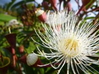 corymbia-ficifolia_flowering-gum_summer-snow