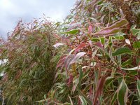 Corymbia-maculata 'Ribbons of Hope'