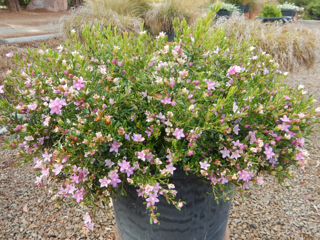Garden Bush: Crowea Exalata 'Low Dome' – Waxflower