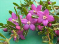Crowea exalata wax flower 'Rhapsody'