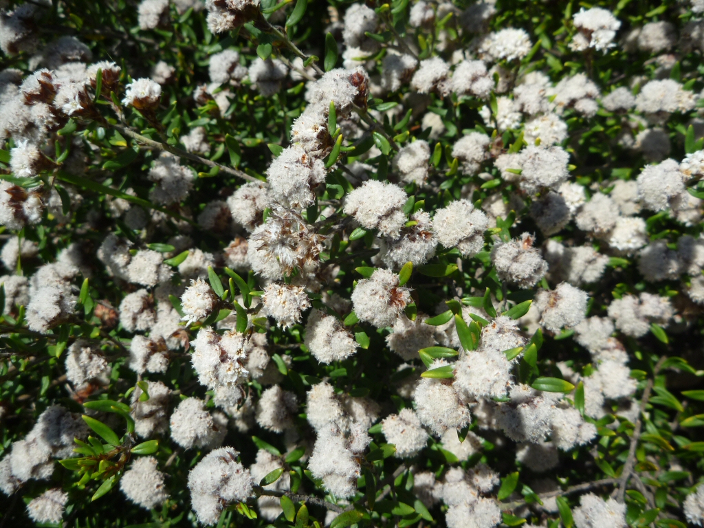 Cryptandra scortechinii cotton bush gardening with angus for Garden shrubs