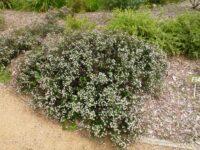 Cryptandra scortechinii - cotton bush
