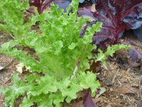 curly leaf lettuce