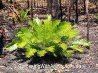 Cycas armstrongii - zamia palm