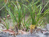 Cymbidium suave - snake orchid