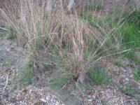 Cymbopogon ambiguus is Australias native lemon grass