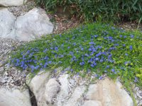 Dampiera diversifolia has true blue flowers