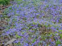 Dampiera diversifolia has profuse bright blue flowers