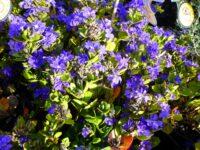Dampiera linearis Blue Moon has true blue flowers