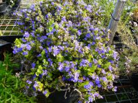 Dampiera linearis is a west australian native plant with true blue flowers
