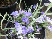 Dampiera stenophylla 'Hazy Days'
