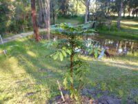 Davidsonia jerseyana - Davidsons Plum is an attractive rainforest plant with edible fruit