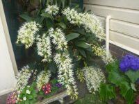 Dendrobium speciosum - rock orchid