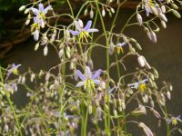 Dianella caerulea flax-lily 'Goddess'