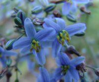 Dianella caerulea flax-lily 'Cassa Blue'