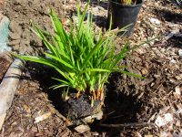 Dianella caerulea flax-lily 'Stampede'