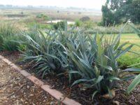 Dianella prunina flax-lily 'Utopia'