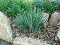 Dianella revoluta flax-lily 'Little Rev'