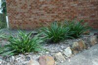 Dianella tasmanica_flax-lily 'Australiana'