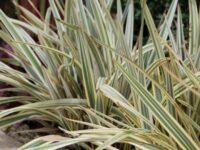 Dianella tasmanica flax lily 'Rainbow'