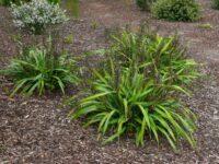Dianella tasmanica flax-lily 'Splice'