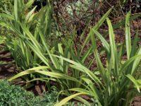 dianella_flax-lily_lime-splice