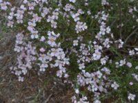 Diplopeltis huegelii - pepper flower