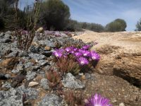 Disphyma crassifolia - native pigface