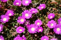 Disphyma crassifolia - native pigface 'Hot Stuff'