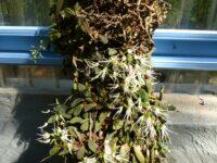 Dockrillia linguiformis - thumbnail orchid