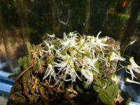 Dockrillia linguiformis - tongue orchid