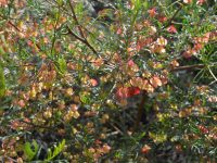 Dodonea sinuolata - hop bush