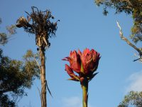 Doryanthes excelsa - Gymea lily or giant spear lily
