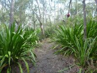 Doryanthes excelsa - Gymea lily
