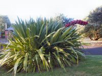 Doryanthes palmeri - giant spear lily