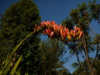 Doryanthes palmeri - giant spear lily
