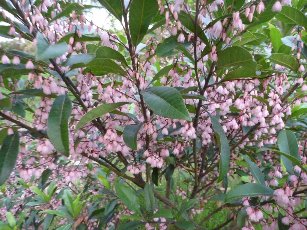 Elaeocarpus Reticulatus Prima Donna Blueberry Ash