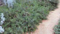 Eremophila maculata emu bush cultivar 'Carmine Star'