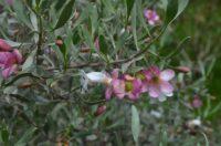 Eremophila platycalyx - emu bush