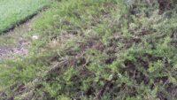 Eremophila veneta - emu bush