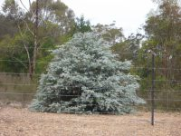 Eucalyptus cinerea - argyle apple