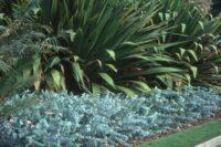 Eucalyptus cinerea - argyle apple