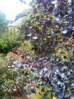 eucalyptus-cladocalyx_gum-tree_vintage-red