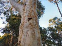 Eucalyptus haemostoma - scribbly gum