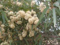 Eucalyptus laeliae - Darling range ghost gum