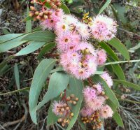 Eucalyptus landsdowneana - red flowered mallee box